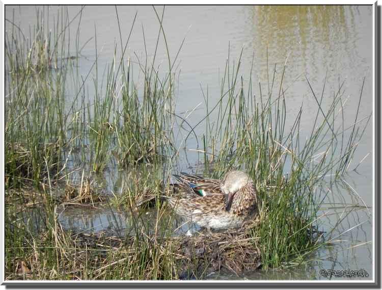 Parc ornithologique du Teich - sarcelle d'hiver