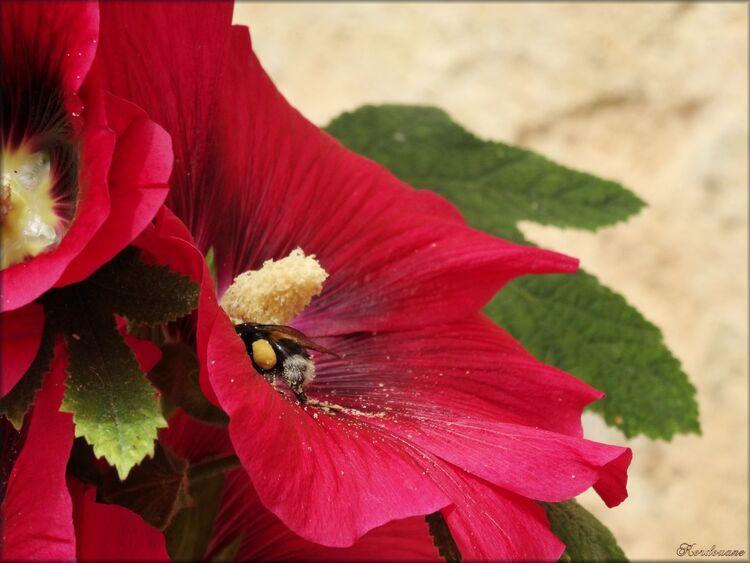 Photo de rose trèmière avec une abeille