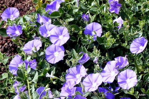 Ce sont des fleurs bleues
