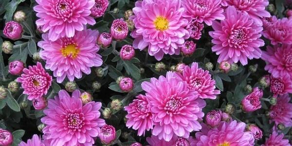 """Résultat de recherche d'images pour """"chrysanthèmes"""""""