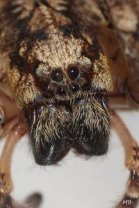 Les araignées : ZOROPSIDAE