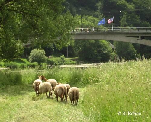 Moutons sur l'île de Bohan