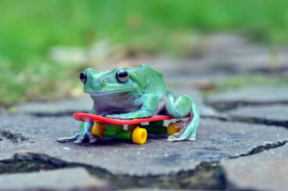 Frogs appear to skateboard, Tangerang, Indonesia - Aug 2016 One of the frogs on the toy skateboard