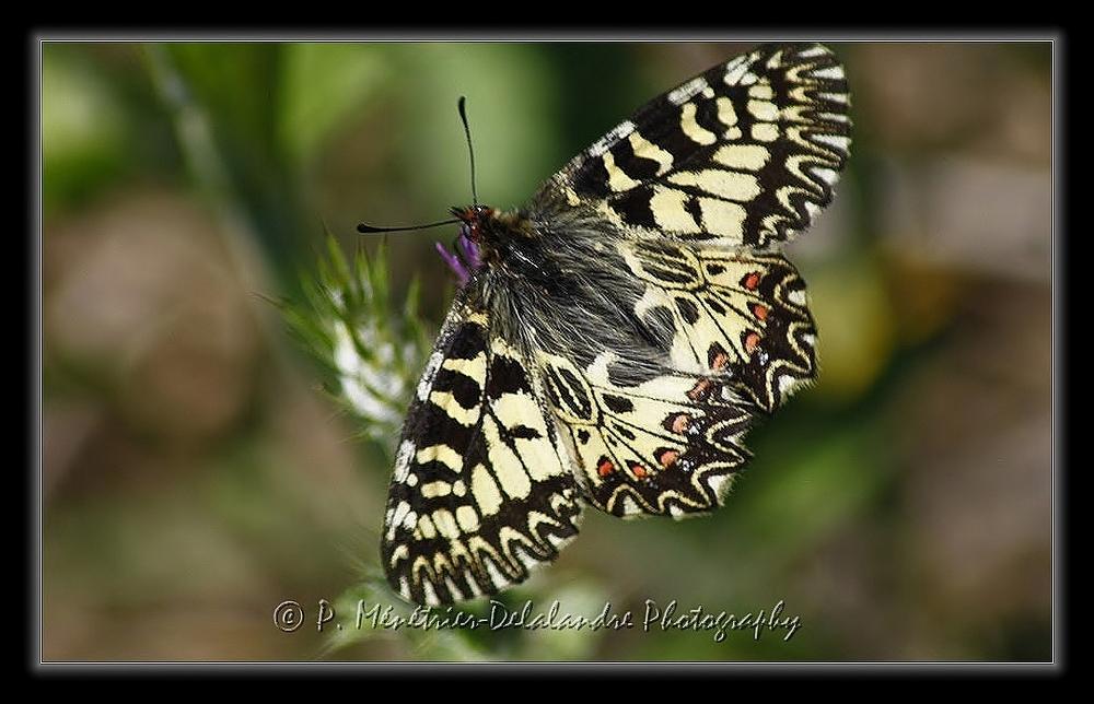 La Diane Zerynthia polyxena (Papillon protégé) - Papilionidae