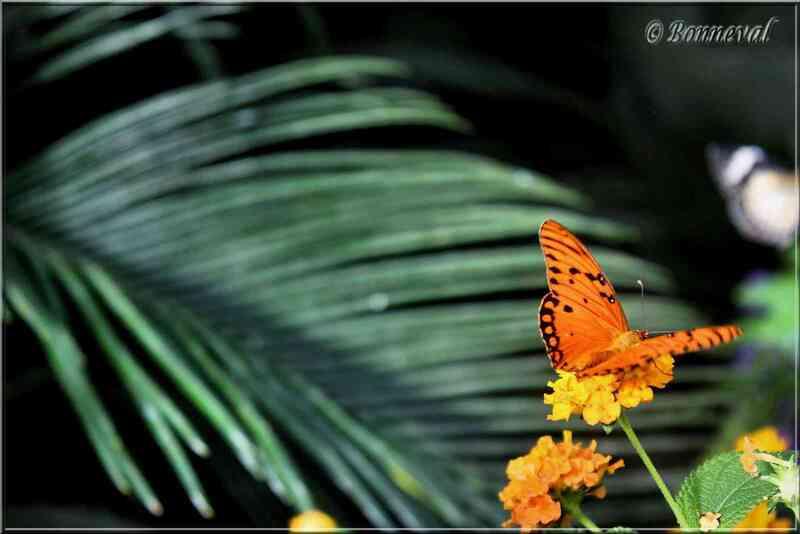 Papillons tropicaux Agraulis Vanillae