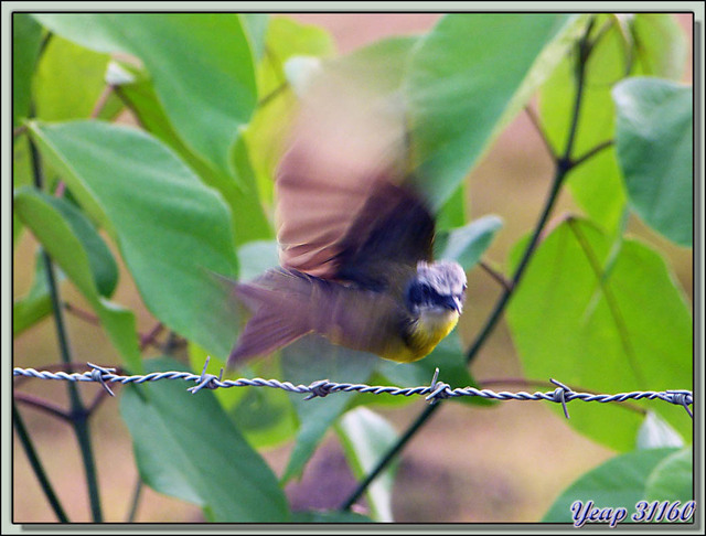 Blog de images-du-pays-des-ours : Images du Pays des Ours (et d'ailleurs ...), Et hop, envolé! Oiseau dont je n'ai pas su trouver le nom - Puerto Jiménez - Costa Rica