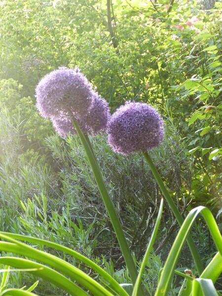 Les alliums du jardin