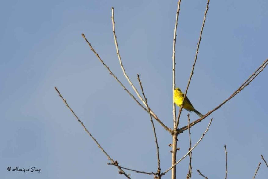 bruant-jaune-1615.jpg