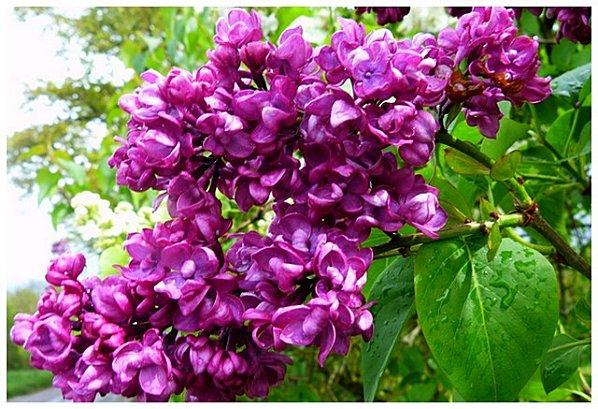 lilas-violet.jpg