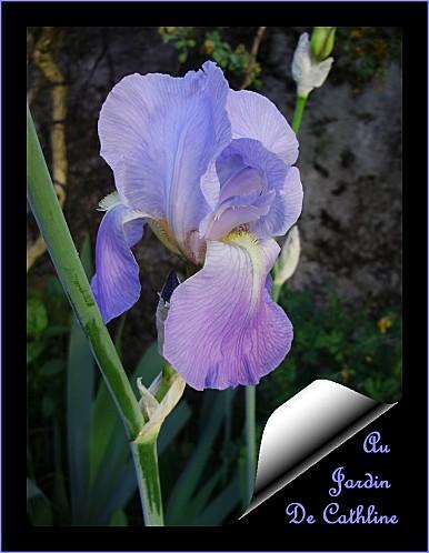iris bleu 4 mai 2011
