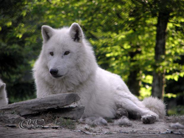 Parc de Ste-Croix loup blanc