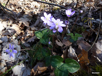 HEPATIQUE (Hepatica nobilis)