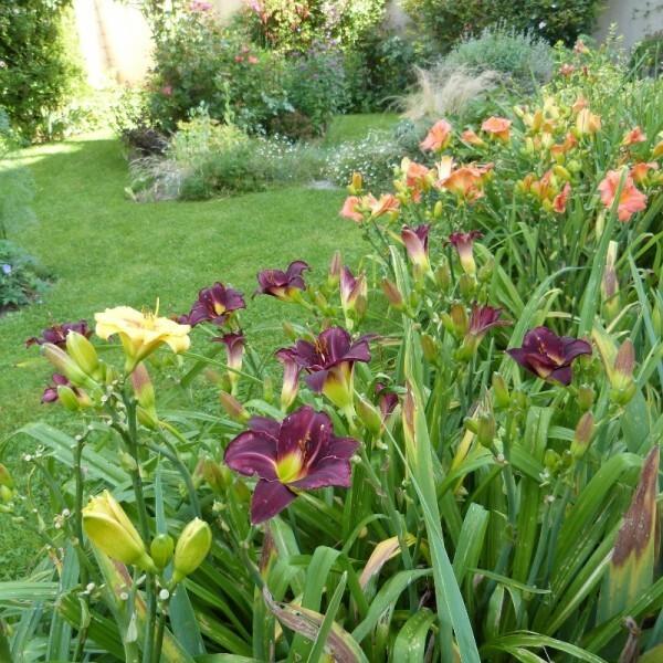 hemerocalle-pigmy-plum-dans-l-allee-des-iris---juillet-201.jpg