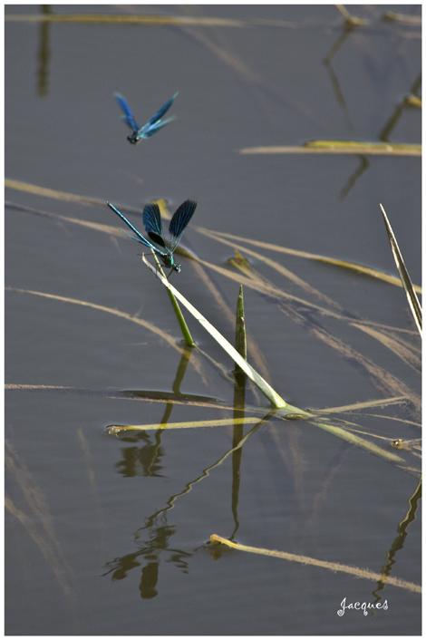 - Galipettes de libellules