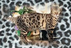 Alexandra8295753-bw-leopard-peau-arriere-plan-ou-la-texture-grande-resolution