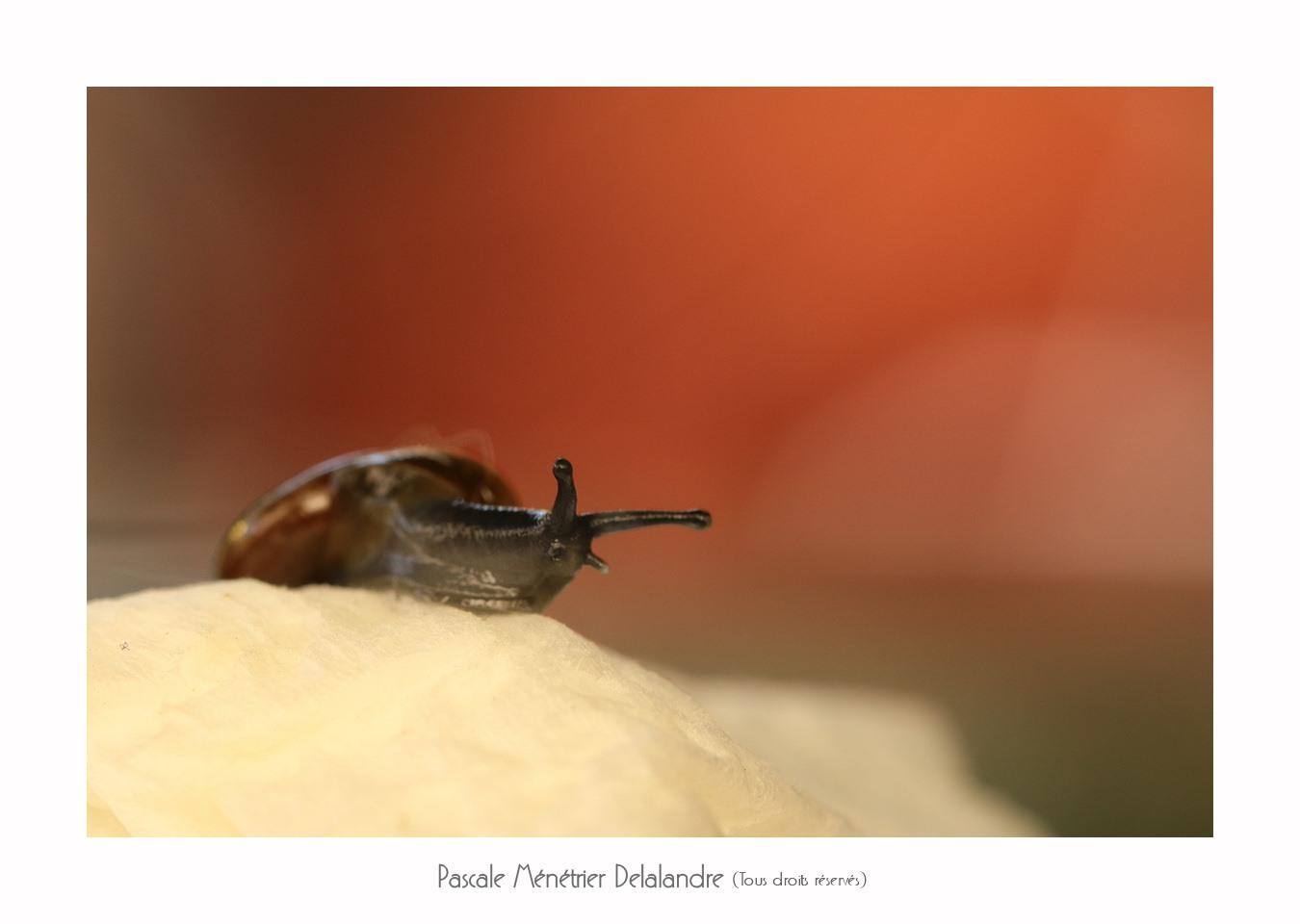 Petit escargot en vadrouille