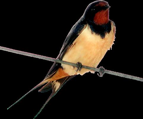 Tubes oiseaux création perso 1