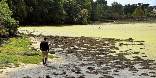 Eau et Rivières de Bretagne avait alerté le 11juin dernier sur la présence d'algues vertes en putréfaction sur le littoral morbihannais, comme ici dans la ria d'Etel.