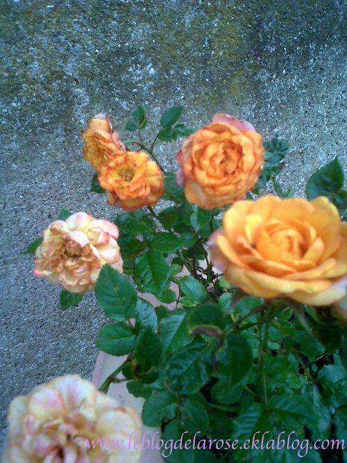 Roses décolorées/Discoloured roses