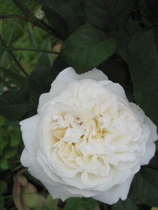 Rose blanche ' Winchester Cathedral ' de David Austin