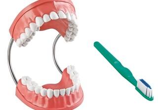 Les différentes parties d'une dent