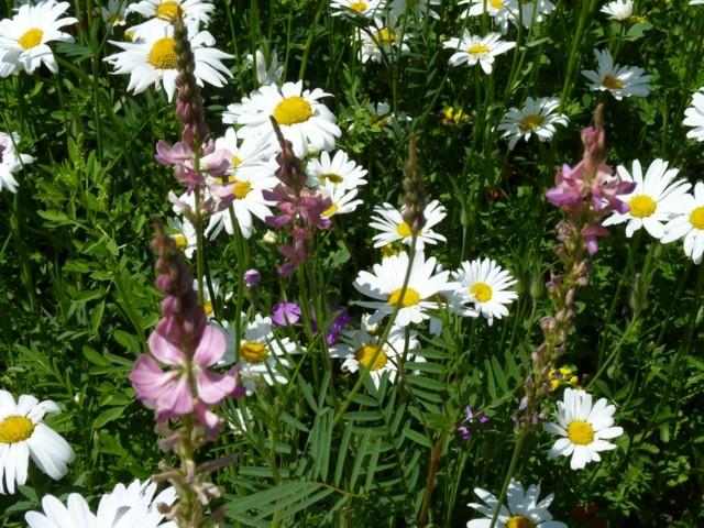 Metz fleurs d'été 13 mp1357 2011