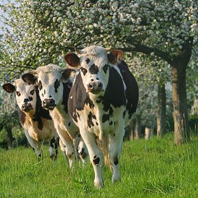 les vaches normandes font beaucoup parler d'elles mais elles ne se trouvent pas