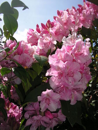 rhododendrons__3_005