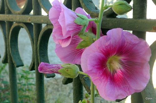 Des fleurs, et du roses ...