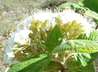 viburnumlantanaca