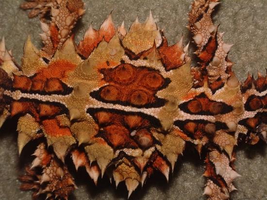 moloch horridus - le moloch hérissé (7)