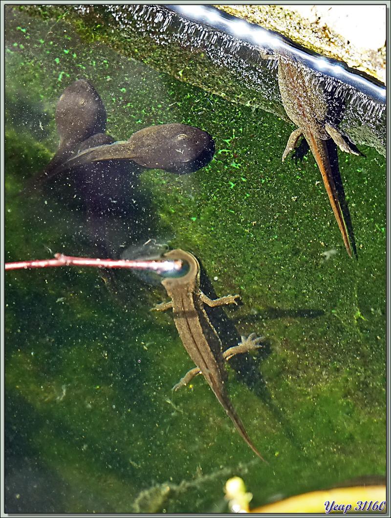 Plusieurs tritons squattent à demeure mes deux bassins, ici en compagnie de deux têtards d'alytes (crapauds accoucheurs) - Lartigau - Milhas - 31