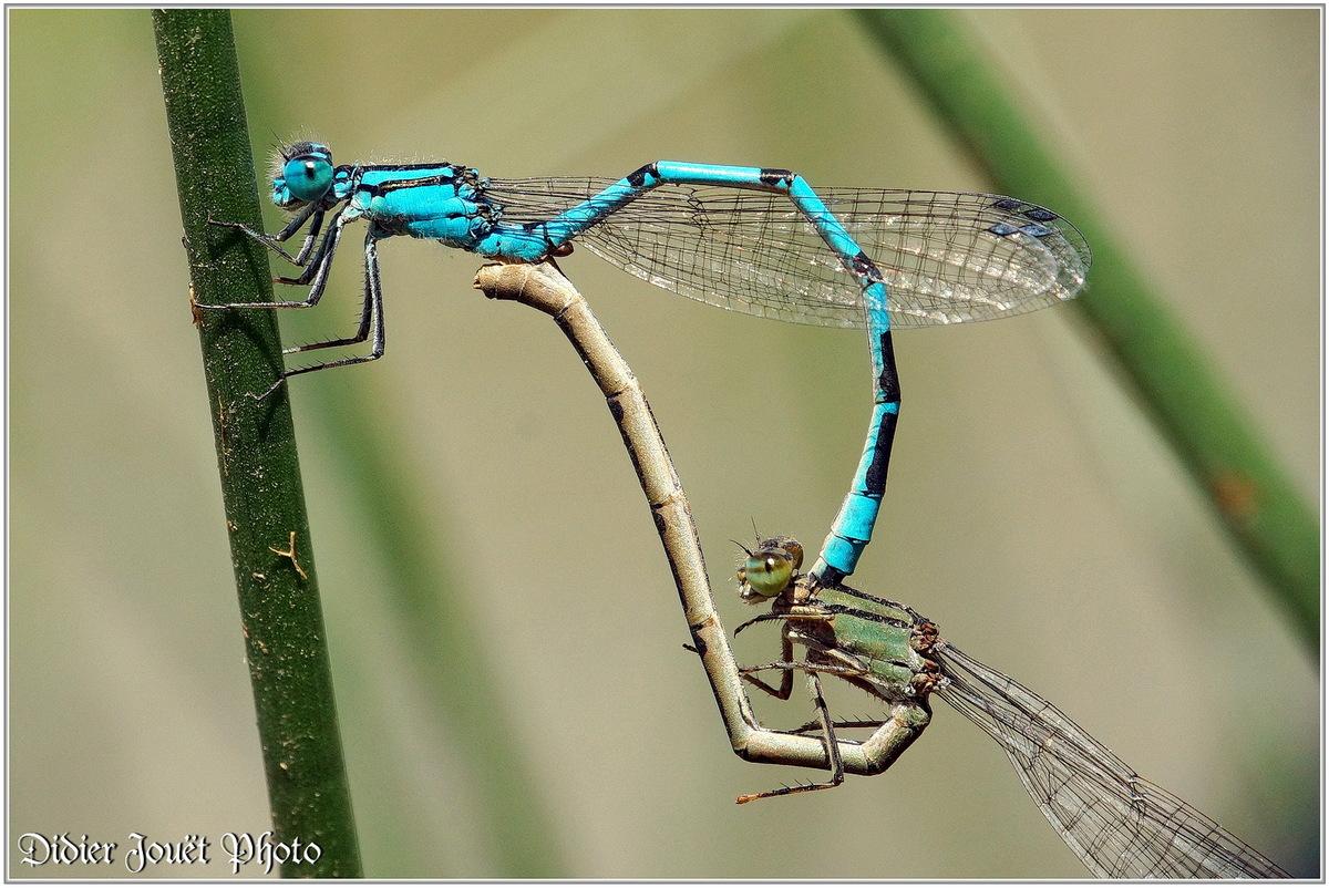 Agrion élégant (9) - Ischnura elegans