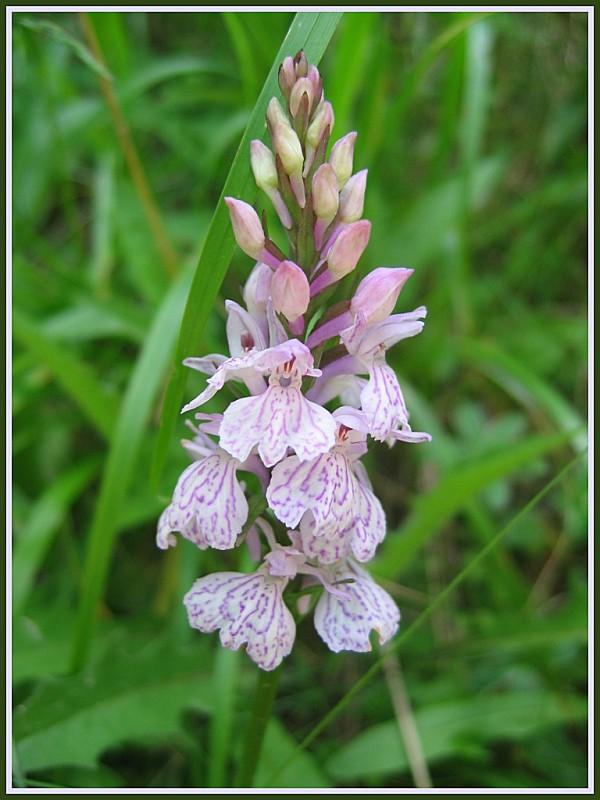 Orchidée 03
