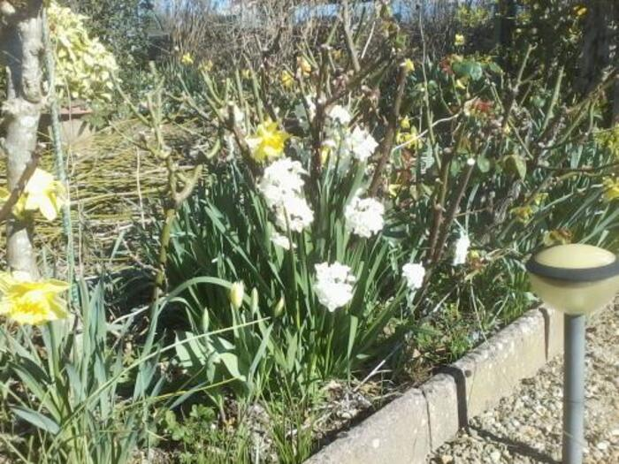mes narcisses dans mon jardin