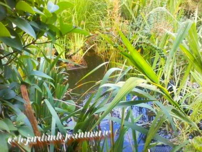 mon bassin ,plantes aquatiques,et bordure