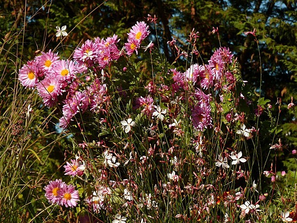 Chrysanthèmes et Gaura