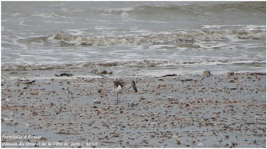 Les limicoles sur la côte de Jade - Barges rousses