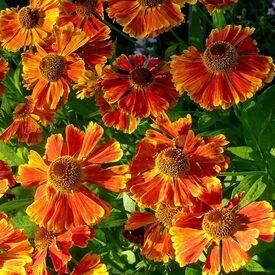 Hélénium Waltraut - Hélénie orange vif