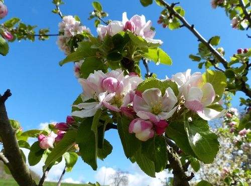 Fleurs de pommes :