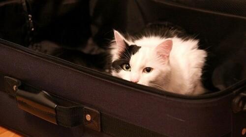 Emmener son chat avec soi ou de le laisser à la maison ?