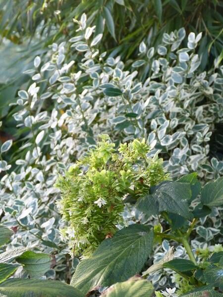 rhamnus alaternus 'argenteovariegata'