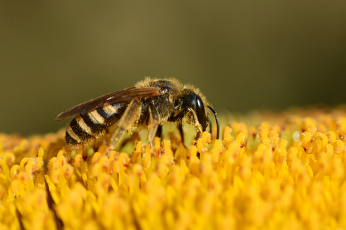 l'Halicte  (petite abeille)
