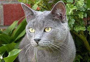 chats-de-race-bleu-russe-001