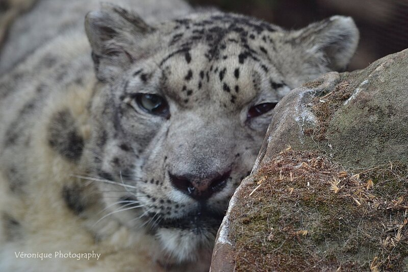 Ménagerie du Jardin des Plantes : Karu, mâle panthère des neiges