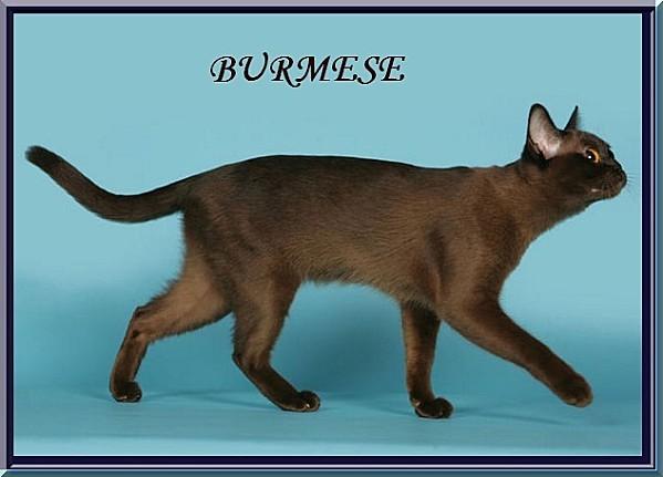 burmese GRAND CHAT