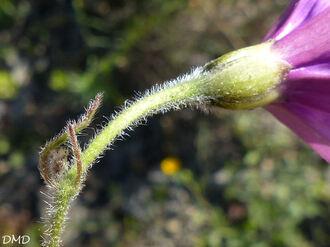 Convolvulus altheaoides  -  fausse guimauve - liseron de Provence