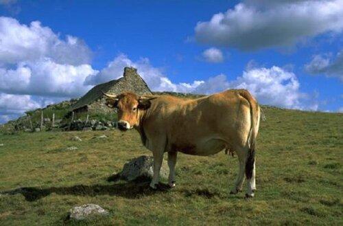 22 - Vaches en couleurs -Portraits, suite