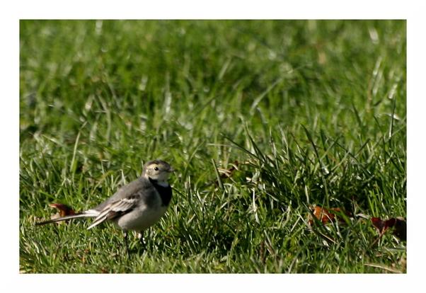 Bergeronette grise en plumage d'hiver