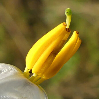 Solanum carolinense  -  morelle de Caroline